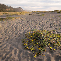 Vegetation on Gold Bluffs Beach at Prairie Creek Redwoods State Park in Humboldt County, California, USA