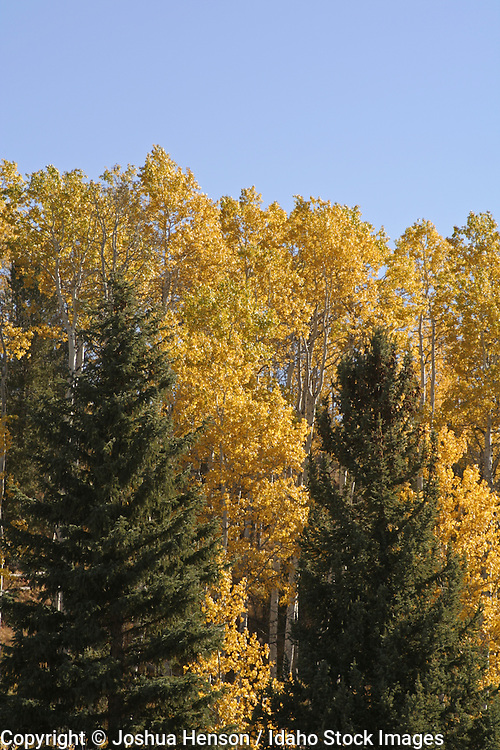 Wyoming. Grand Teton National Park. Evergreens and aspen trees in autumn.