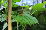 Weberknecht (Phalangium opilio) | Harvestman immature (Phalangium opilio)