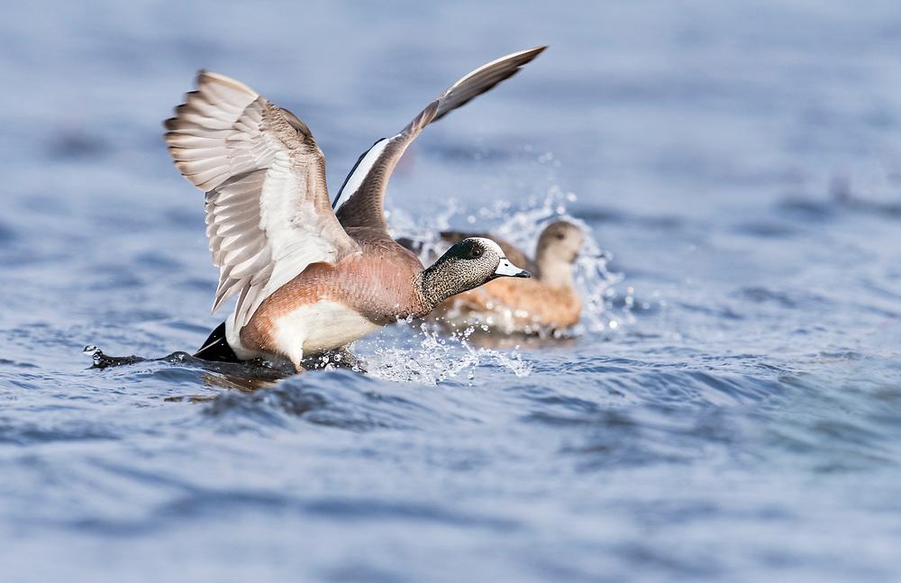 American Wigeon, Anas americana, male & female, Harsen's Island, Michigan