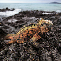 Marine Iguanda on the volcanic rock, Galapagos, Ecuador, 2015