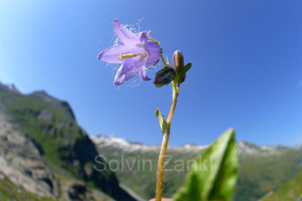 Bearded Bellflower (Campanula barbata) High Tauern National Park (Nationalpark Hohe Tauern), Central Eastern Alps, Austria | Bärtige Glockenblume (Campanula barbata) Nationalpark Hohe Tauern, Osttirol in Österreich