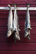 Drying fish<br /> Longyearbyen<br /> Svalbard<br /> Norway<br /> Arctic Ocean