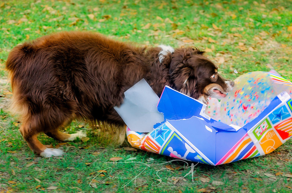 Cowboy, an eight-year-old red tri Australian Shepherd, expresses surprise as he opens a bag containing a ball at his birthday party, April 4, 2016, in Coden, Alabama. (Photo by Carmen K. Sisson/Cloudybright)