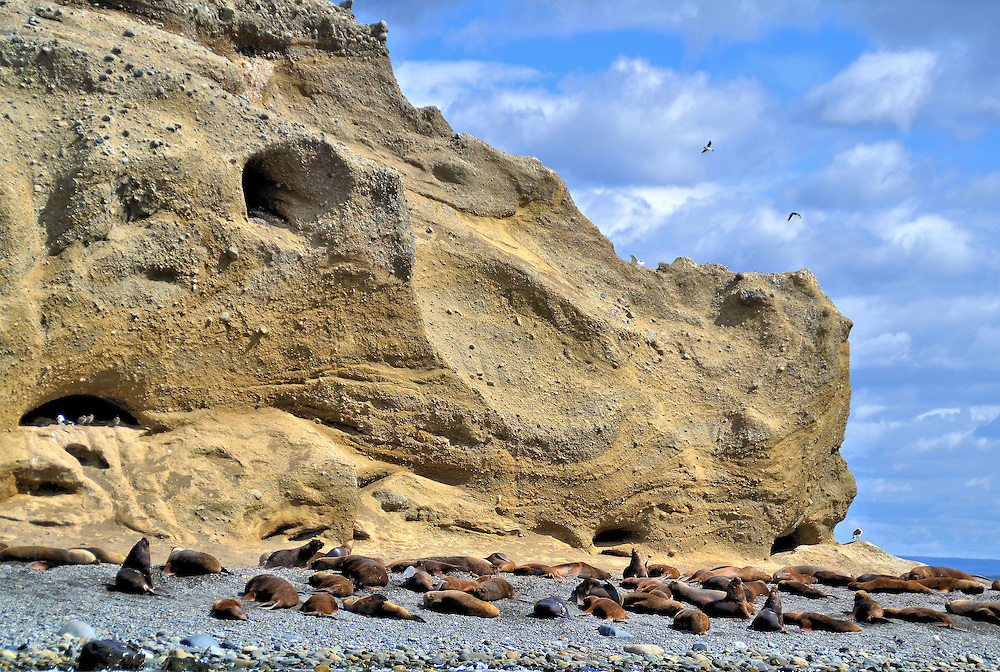 Colony of Sea Lions on Marta Island, Chile <br /> The National Monument Los Pinguinos is famous for the thousands of Magellanic penguins on Magdalena Island.  But this Chilean reserve consists of two islands.  The second is Isla Marta where a colony of 1,000 South American sea lions lives all year. Called the lobo marino by local Chileans, the male Patagonian sea lion can grow up to nine feet and weigh over 700 pounds. As your boat passes by, you might also see cormorants and seagulls on the cliffs plus dolphins and sea elephants swimming in the water.