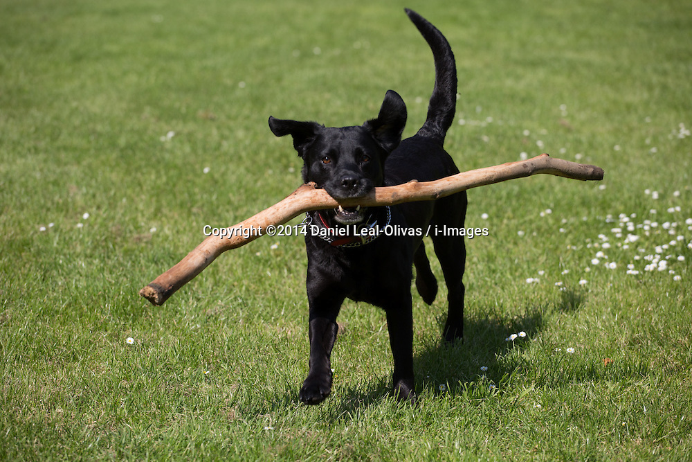 A dog with a stick in its mouth while running in Hyde Park, Central London, United Kingdom. Friday, 16th May 2014. Picture by Daniel Leal-Olivas / i-Images