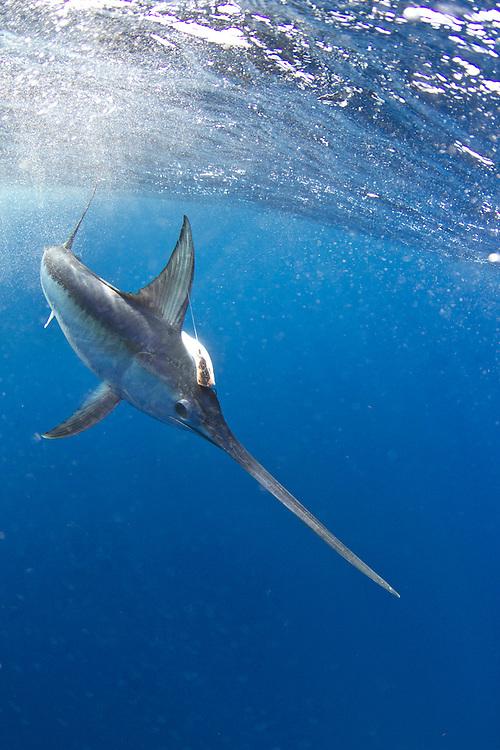 swordfish, Catch 22, Stanczyk, Vic Gaspeny, underwater swordfish