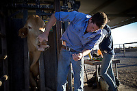 Brunette Downs Cattle Station is situated on the Barkley tablelands in Australia's Northern Territory. One of Australia's largest cattle stations..Jack Greaney checks the age of the cattle separating the animals in the drafting yard.
