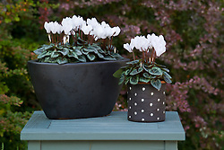 Cyclamen hederifolium in black and white spotty containers. Hardy cyclamen