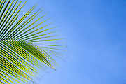 Green Palm frond looking into a blue cloudless sky in the Caribbean.