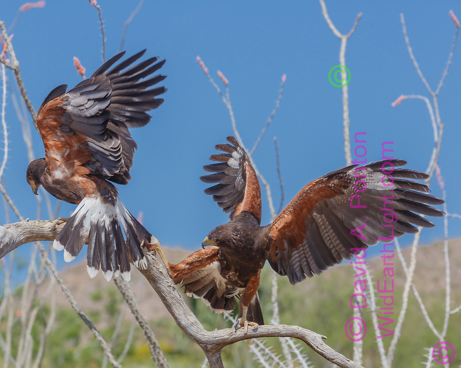 Harris's hawk s having a tug-of-war over a piece of food.. © 2012 David A. Ponton