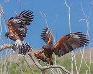 Harris's hawk s having a tug-of-war over a piece of food.. © 2012 David A. Ponton
