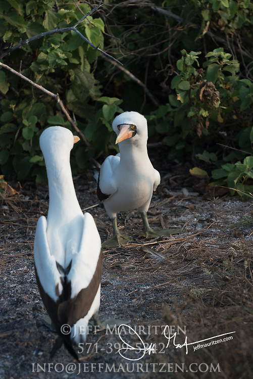 2 Nazca boobies on Genovesa island, part of the Galapagos archipelago of Ecuador.