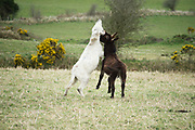 Donkeys having fun in the spring time near Clonbern Co. Galway   <br />  Photo:Andrew Downes, XPOSURE