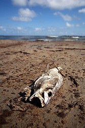 21 May 2010. Grand Isle, Lafourche Parish, Louisiana. .BP Macondo Well disaster. A dead fish lies in oil debris as oil washes ashore in greater concentrations than previously seen on the once pristine beaches of Grand Isle. The economic and environmental impact is devastating with shrimp boats tied up, vacation rentals and charter boat fishing trips cancelled as police chase tourists from the beaches just two hours drive from New Orleans..Oil from the Deepwater Horizon catastrophe is evading booms laid out to stop it thanks in part to the dispersants which means the oil travels at every depth of the Gulf and washes ashore wherever the current carries it. .Photo credit; Charlie Varley.
