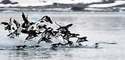 Brünnich's Guillemot (Uria lomvia) taking off from an ice-berg in Fjortende Julibukta, north-western Spitsbergen, Svalbard.