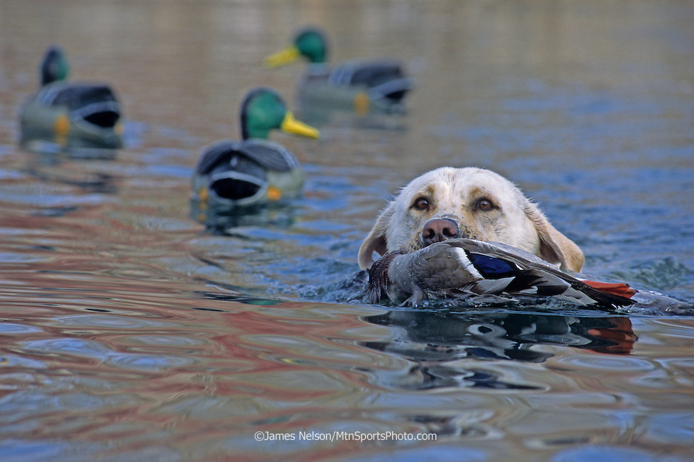 34-535. A yellow Labrador retriever brings a downed mallard to the blind on the Snake River, Idaho.