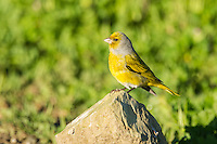 Male Cape Canary , Overberg, Western Cape, South Africa