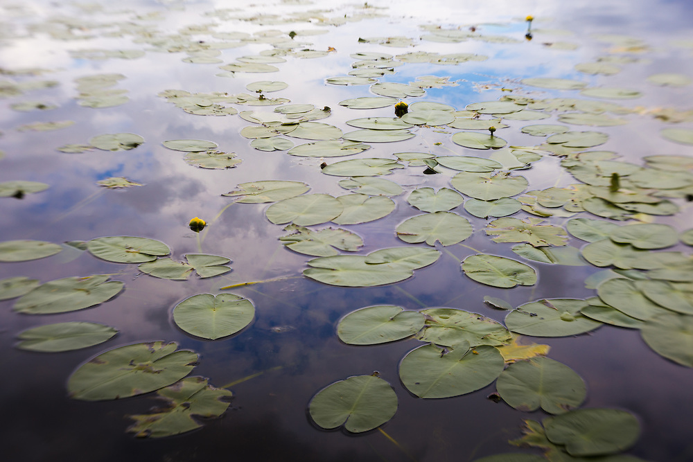 Lily pads and cloud reflections on a lake in the summer.