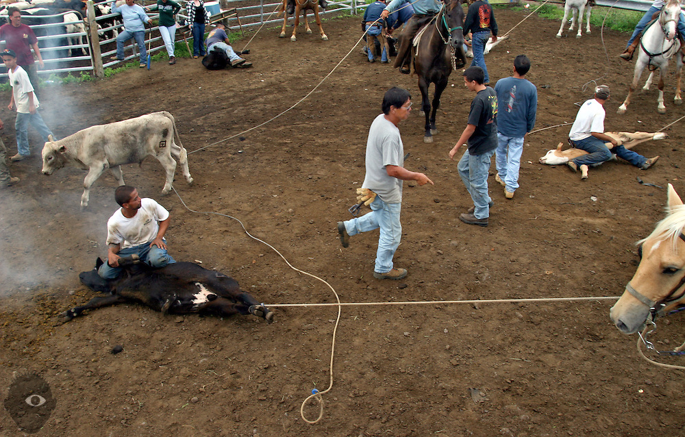 Cowboys and assistants move about the corral as many calves are branded at the Kuahiwi Ranch in the higher country above the town of Naalehu on the southern part of the Big Island, Hawaii.