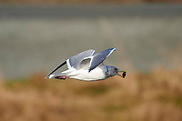 Glaucous-winged Gull (Larus glaucescens) in flight with shellfish in mouth, Brickyards Beach, Gabriola Island, British Columbia, Canada