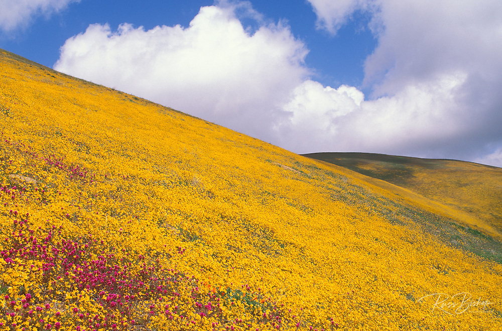 Goldfield (Lasthenia californica) and Owl's Clover (Castilleja densiflora) covering hillside in theTehachapi Mountains, Angeles National Forest, California