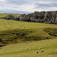 Sheeps and windswept trees standing in a meadow near the Catlins coast at Romahapa.