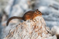 One of the largest species of chipmunk in North America, the Townsend's chipmunk  is found only in the Pacific Northwest, from most of the Oregon coast area, all of Washington west of the Cascade Mountains, and just the southern tip of British Columbia in Canada. This curious individual posed for me for about ten minutes at Ruby Beach, Washington.