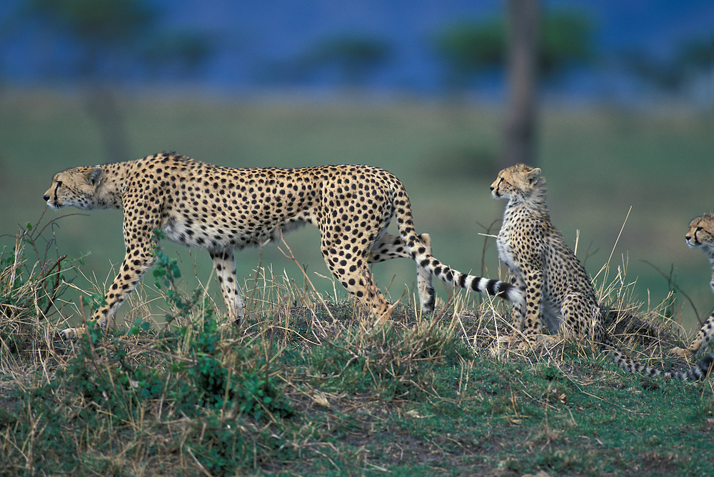 Kenya, Masai Mara Game Reserve, Cheetah (Acinonyx jubatas) sets off on hunt from low mound on savanna followed by two young cubs