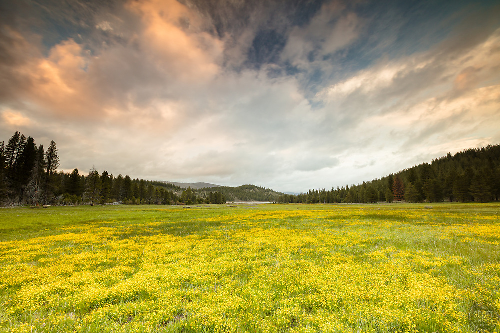 """Sagehen Meadows Sunset 1"" - Photograph of a sunset above a field of Buttercup wildflowers at Sagehen Meadows, near Truckee, California."
