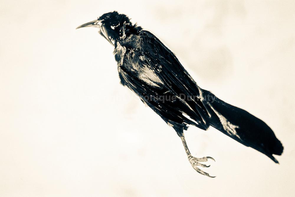 Veronique Durruty<br /> Une averse de plumes noires, 2015<br /> <br /> S&eacute;rie &quot;Contexte : les mauvais gar&ccedil;ons, un livre des morts&quot;. Inspir&eacute; par Land, album Horses de Patti Smith<br /> <br /> 30 cm x 45 cm<br /> Tirage pigmentaire sur papier Hahnem&uuml;hle baryt&eacute;<br /> Edition de 3 exemplaires