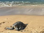 A green sea turtle (honu) rests on a sandy Kahana beach on Jan. 7, 2018, in Maui, Hawaii. The species is considered threatened. (© 2018 Cindi Christie/Cyanpixel)
