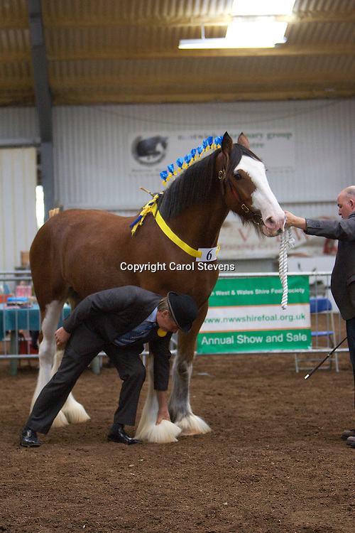 North West and Wales Shire Foal Society Show 2012<br /> Mr A and Mrs J Whetton's Manor Maclee  <br /> f 2009   Sire  Moorfield Manor Mac  Dam Boat Bonnie Lass<br /> Winner Barren Mare or Gelding 3 years old or over Class