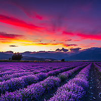A splendid lavender field at sunset