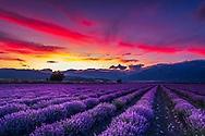 A huge lavender field at sunset