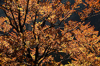 tree in autumn, autumn colors<br /> Triglav National Park, Slovenia<br /> October 2008
