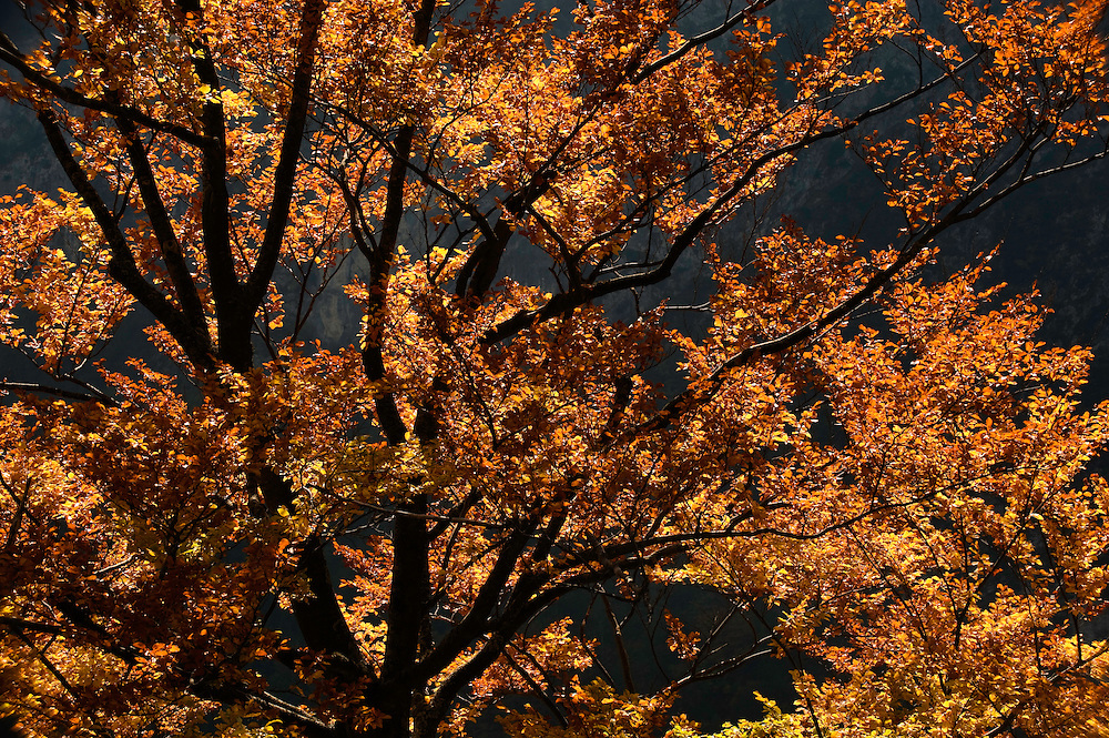 tree in autumn, autumn colors<br /> Triglav National Park, Slovenia<br /> October 2008
