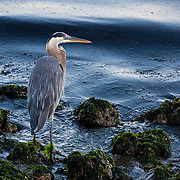 Great blue heron. Puget Sound, Washington.