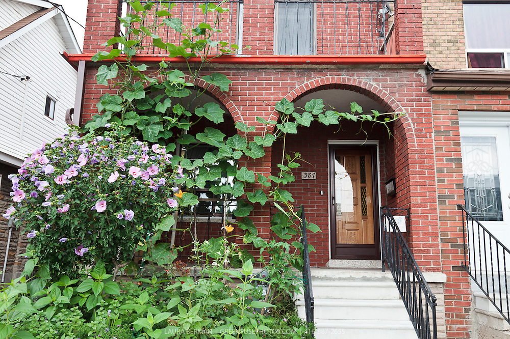 A  summer squash vine rambles along a trellis on the front of an urban house.