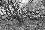 Twisted and turning branches of a moorland field Oak tree in mid winter