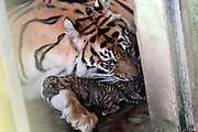 May 7, 2014 - MEDAN, NORTH SUMATRA, MAY 7, 2014: <br /> <br /> Rare Newborn Sumtran Tiger Baby<br /> <br /> Simanis (15) mother of Sumatran tiger (Panthera tigris sumatrae) with some newborn baby at Medan Zoo on May 7, 2014 in Medan, North Sumatra, Indonesia. A total of four baby of Sumatran tiger were born on Wednesday morning  may 7, 2014 at the Medan zoo. Sumatran tigers are endangered at the moment and the only types of tigers are still alive in Indonesia. <br /> ©Exclusivepix