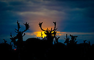 1/8/12 A male deers settle down for the night pictured at Sunset near the Papal Cross in Dublin's Phoenix Park last Night Pic:Marc O'Sullivan