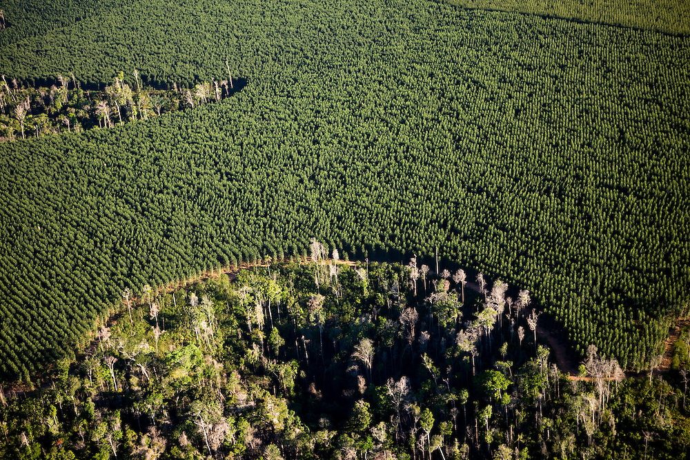 Eucaliptus plantations on land cleared from the Amazon rainforest on a fazenda owned by Sidepar (Siderurgica Do Para), in Ulianopolis Municipality, Para State, Brazil, August 12, 2008..Daniel Beltra/Greenpeace