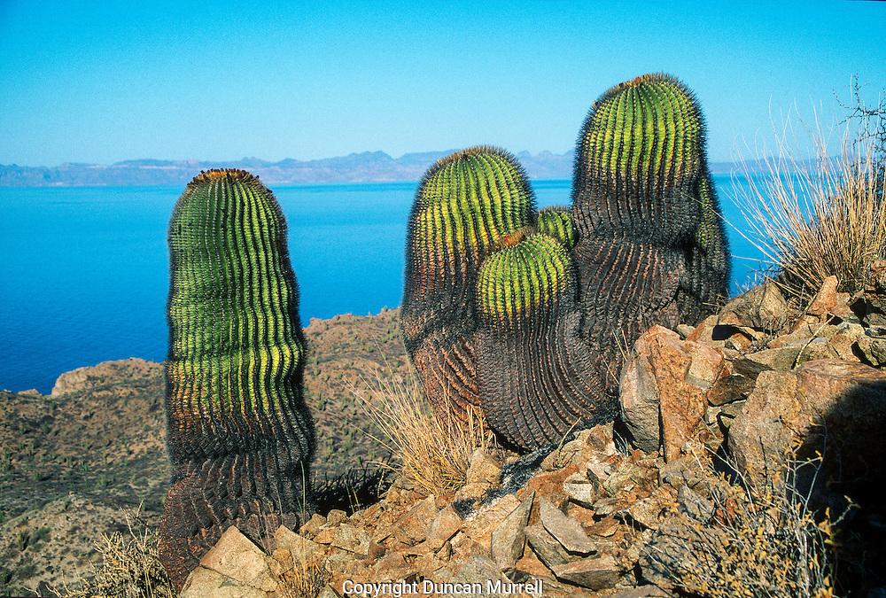 Giant barrel cacti (Ferrocactus diguetti) on Isla Santa Catalina, the Sea of Cortez and  Baja Penisnsula, Mexico.