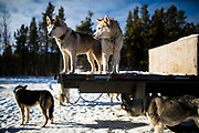 Siberian huskies rest following the Babe Southwick Memorial race on Feb.18, 2017 outside Whitehorse.