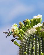A Broad-billed Hummingbird (Cynanthus latirostris) feeding on nectar from the flowers of the Saguaro (Carnegiea gigantea). Tucson