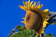 Sunflower, Bee, Blue, Sky- Close-up, Manhattan Beach CA, southwestern, Los Angeles County, Santa Monica Bay,