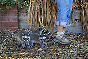 Raccoon <br /> Procyon lotor<br /> Eight-week-old orphaned babies following volunteer, JoLynn Taylor, while exploring yard of foster home<br /> WildCare, San Rafael, CA