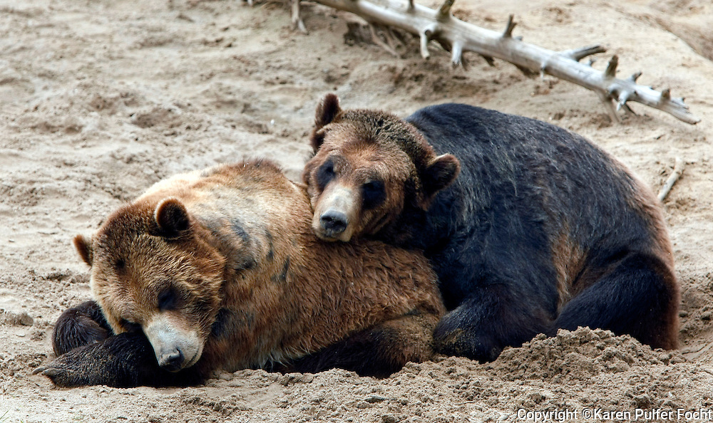 Bears snuggle at The Memphis Zoo, Memphis, Tennessee