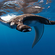 Juvenile manta ray swimming along the ocean surface